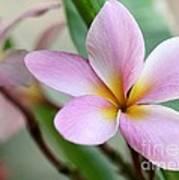 Pastel Pink Plumeria Poster