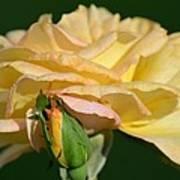 Pastel Rose Ruffles Poster