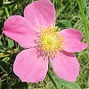 Pasture Rose Rosa Carolina Poster