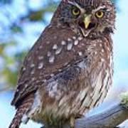 Patagonia Pygmy Owl Poster