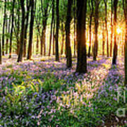 Sunrise Path Through Bluebell Woods Poster