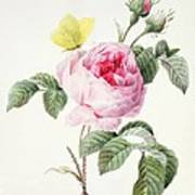 Pink Rose With Buds Poster