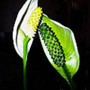 Peace Lilies Poster