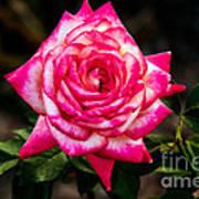 Peaceful Rose Poster