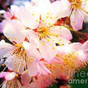 Pale Peach Blossom Poster