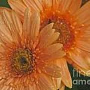 Peach Daisy Poster