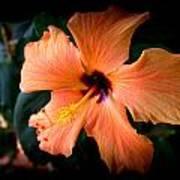 Peach Hibiscus Bloom Poster