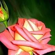 Peach Rose Watercolor Poster