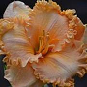 Peach Ruffled Lily Poster