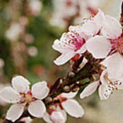 Peach Tree Blossoms Poster