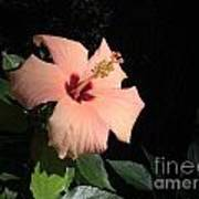 Peachy Hibiscus Poster