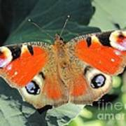 Peacock Butterfly Poster