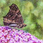 Peacock Butterfly Inachis Io On Buddleja Poster