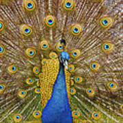 Peacock Courting Poster