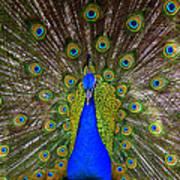 Peacock Extraordinaire  Poster by DerekTXFactor Creative