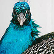 Peacock Front View Poster