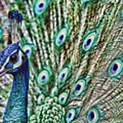 Peacock Poster by Karen Walzer