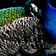 Peacock On Black Poster