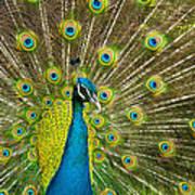 Peacock Pride Poster