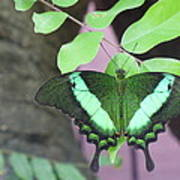 Peacock Swallowtail Poster