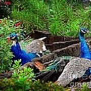Peacocks In The Garden Poster