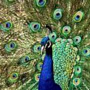 Peacocky Attitude Poster
