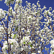 Pear Tree Blossoms In Spring Poster