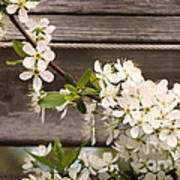 Pear Tree Blossoms Poster