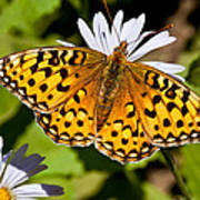 Pearl Border Fritillary Butterfly On An Aster Bloom Poster