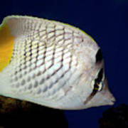 Pearlscale Or Yellow-tailed Butterflyfish Poster