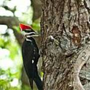 Pecking Woodpecker Poster