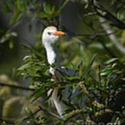 Peeking Cattle Egret Poster