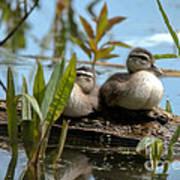 Peeking Ducks Poster