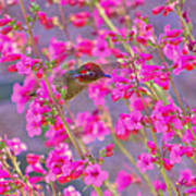 Peeking Through The Pink Penstemons Poster