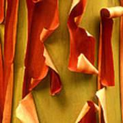 Peeling Bark Pacific Madrone Tree Washington Poster