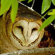 Peering Barn Owl Poster