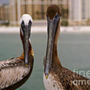Pelican Couple Poster