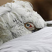 Pelican Eye Poster