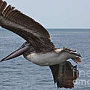 Pelican Fly By Poster