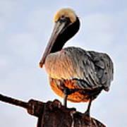 Pelican Looking Back Poster
