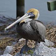 Pelican On Rocks Poster