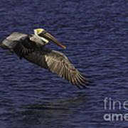 Pelican Over Water Poster