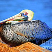Pelican Rest Poster