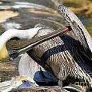Pelican Scratch Poster by Adam Jewell