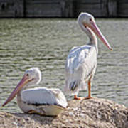 Pelicans By The Pair Poster