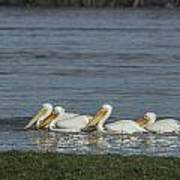 Pelicans In Floodwaters Poster
