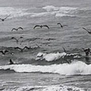 Pelicans Lunching At Ft. Stevens Oregon Poster