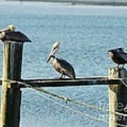 Pelicans On A Break Poster by Mel Steinhauer
