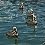 Pelicans On The Water In Key West Poster