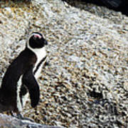 Penguin Chilling On Rock At Boulders Beach Cape Town  Poster